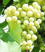 Клуб виноградарів запрошує